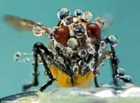 House Fly Drenched in Water Vapor