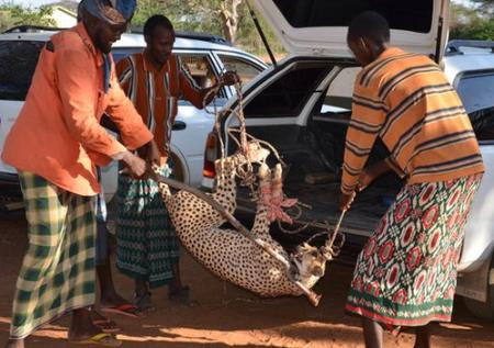 Captured Cheetah