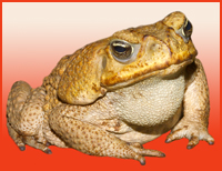 Newt is a Toad