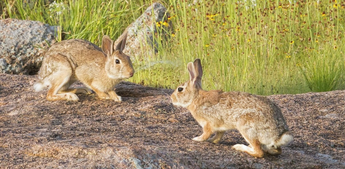 Two Cottontail Rabbits