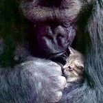 Koko and the Nature of Communication