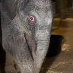 Baby Elephant Transcends Zoo Concerns