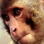 Monkeys Do Math as Expected