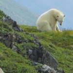 Global Warming and Polar Bear Attacks