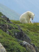 Polar Bear Before Attack