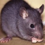Rats Exonerated for Black Death