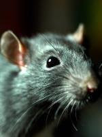 Rat Flood