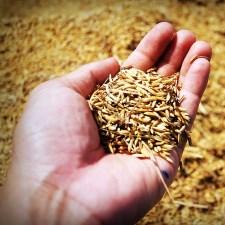 Bahuvrihi - Much Rice