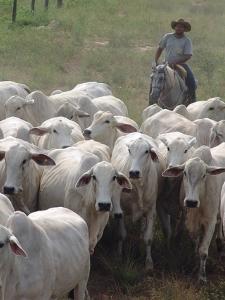 Republican Herd